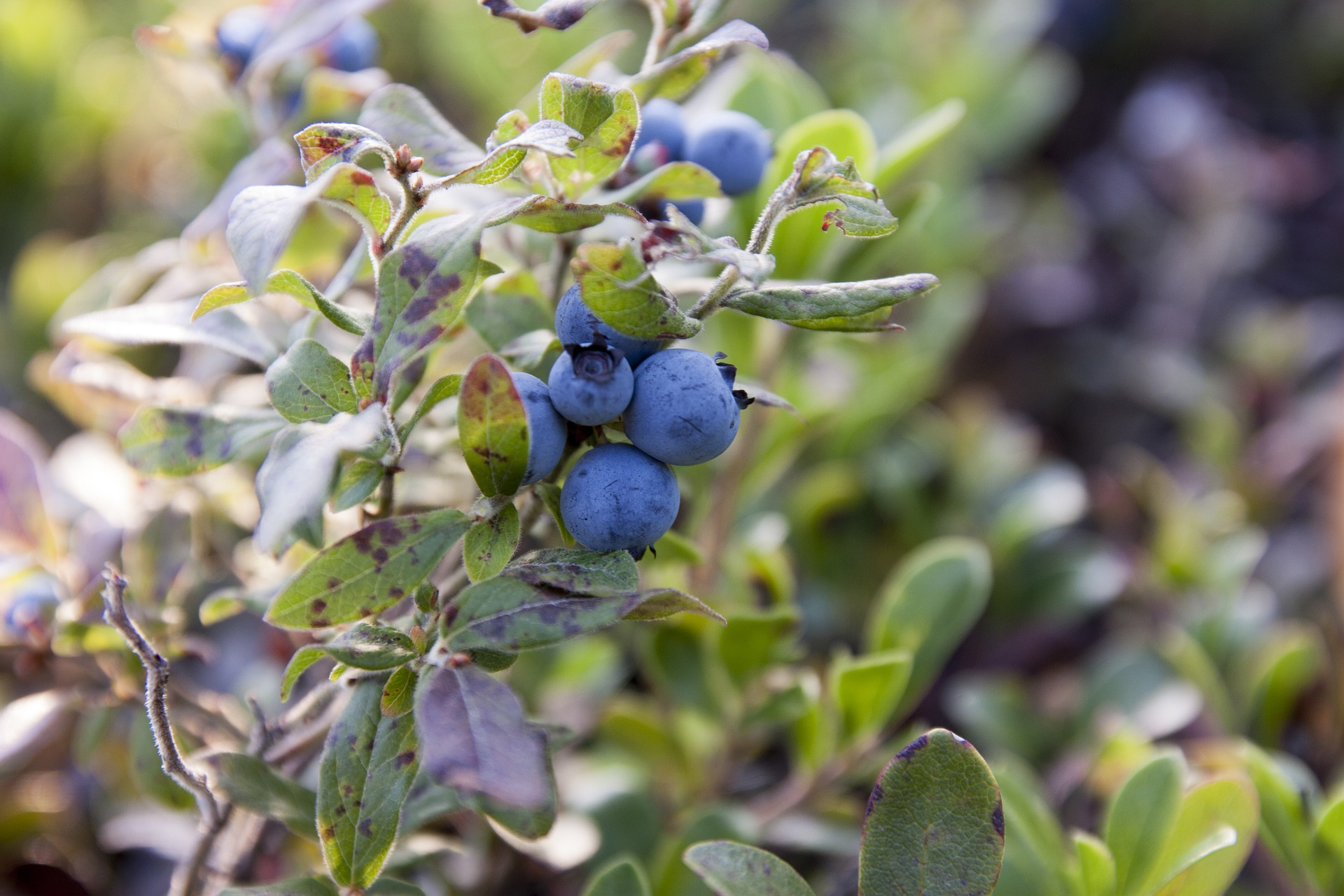 Premier Blueberry Bushes For Sale Southern Berries Usa